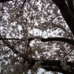 柏尾川の桜